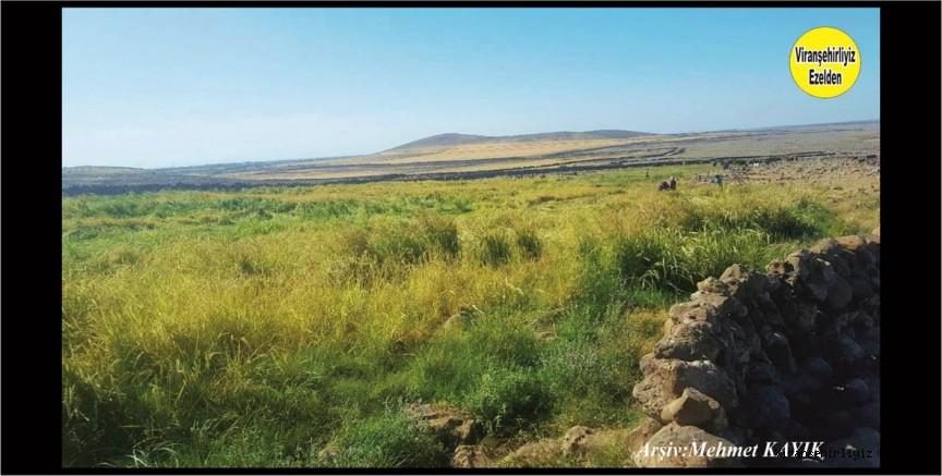 Viranşehir Karacadağ Bölgesinde Bölgenin Meşhur Pirinçi Biçim Zamanında Ballıca Köyü Boztepe Mezrası